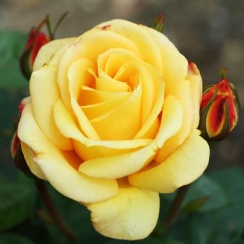 Роза Arthur Bell фото