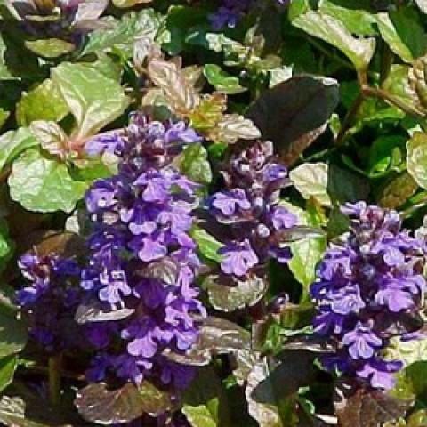 Аюга Purple Brocade (рассада) фото
