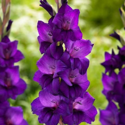 Гладиолус Purple Flora фото