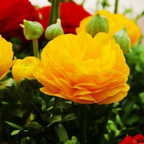 Ранункулюс (лютик) Aviv Yellow фото