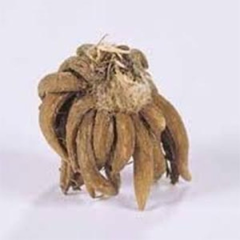 Ранункулюс (лютик) Picotee Roze фото