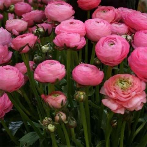 Ранункулюс Tomer Pink фото