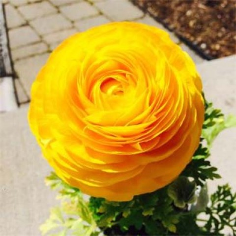 Ранункулюс Tomer Yellow фото