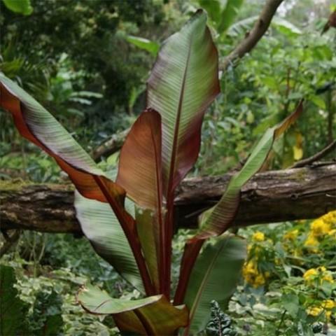 Банан Красный Maurellii фото