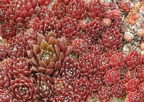 Каменная роза Red Papaver фото