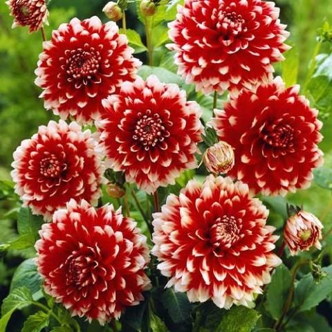 Георгина Red and White Fubuki фото