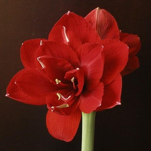 Амариллис Red Glory фото