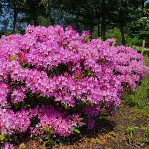 Рододендрон Roseum фото