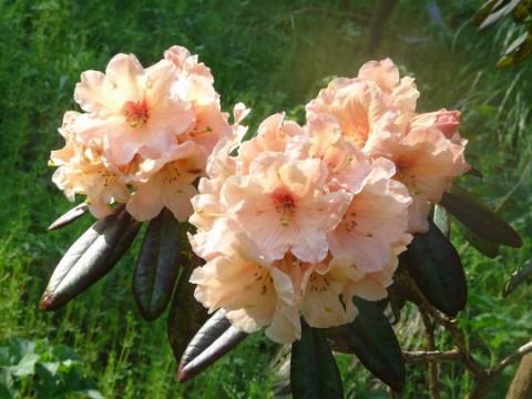 Рододендрон Apricot Fantasy фото