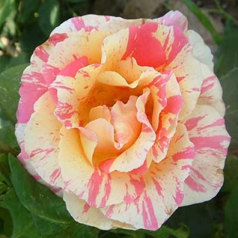 Роза Camille Pissarro фото