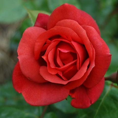 Роза Terracotta фото