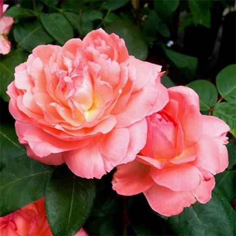 Роза Aachner Dom фото