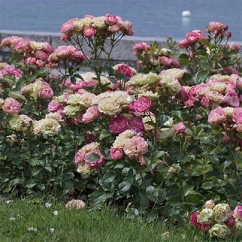Роза Acropolis фото
