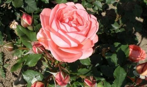 Роза Amelia Renaissance фото