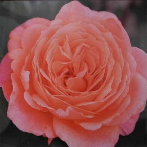 Роза Amour De Molene фото