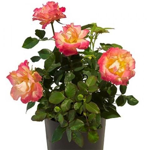 Роза Antigua фото