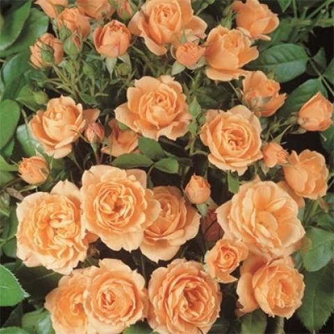 Роза Apricot Clementine фото