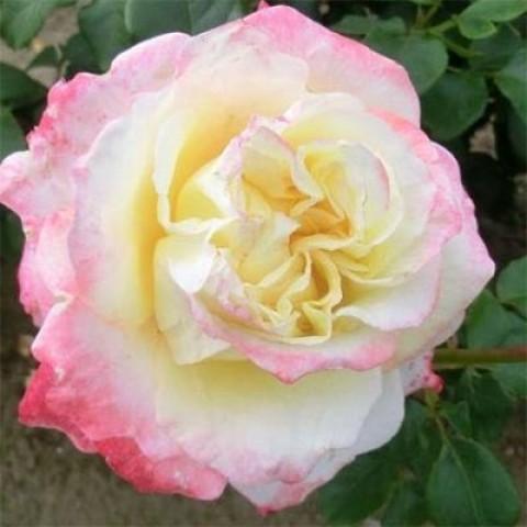 Роза Athena (Robert Hossein) фото
