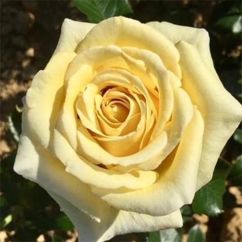 Роза Aubada фото