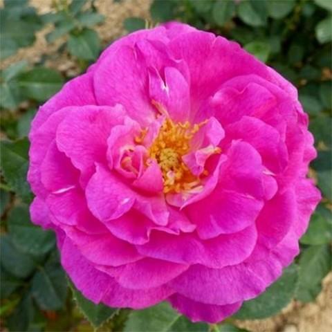 Роза Baby Blue фото