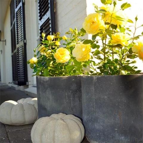 Роза Bahama фото