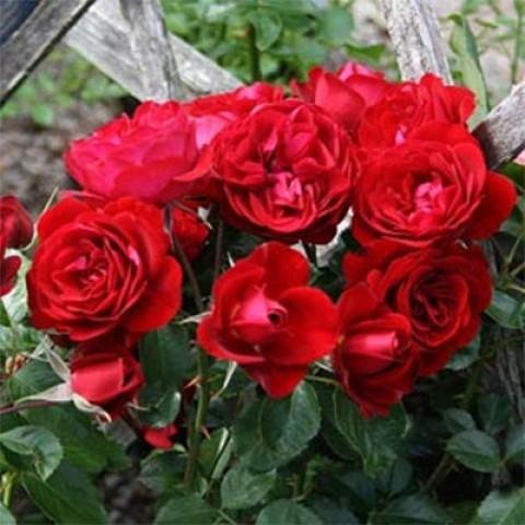 Роза Balmoral фото