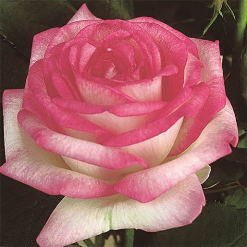 Роза Biedermeier Garden фото