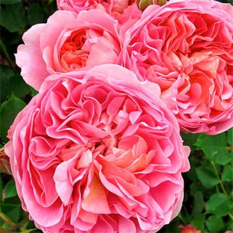 Роза Boscobel фото