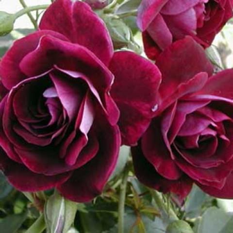 Роза Burgundy Ice фото
