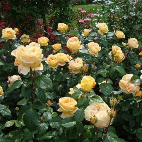 Роза Candlelight фото