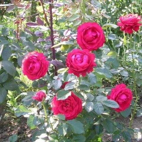 Роза Carris фото