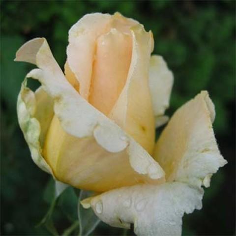 Роза Casanova фото