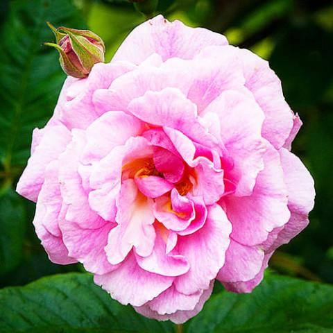 Роза Chaplin's Pink фото