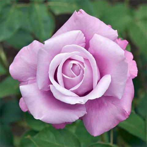 Роза Charles de Gaulle фото