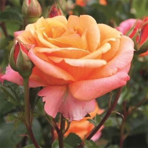 Роза Черри Бренди (Cherry Brandy)  фото