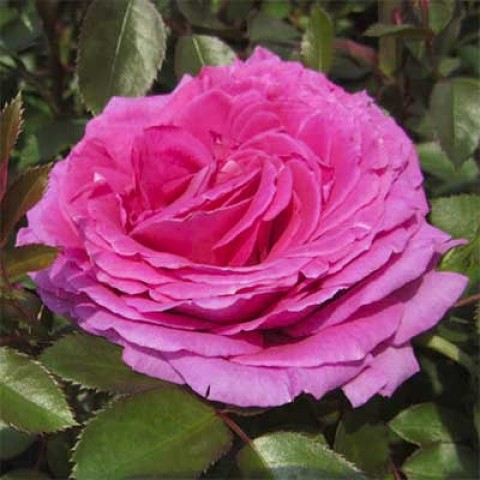 Роза Claire Marshall фото