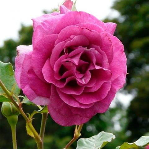 Роза Climbing Violette Parfume фото