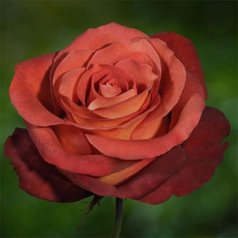 Роза Кофе Брейк фото