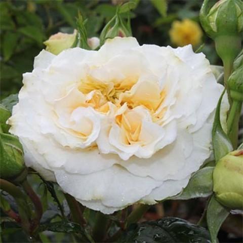 Роза Comtessa фото