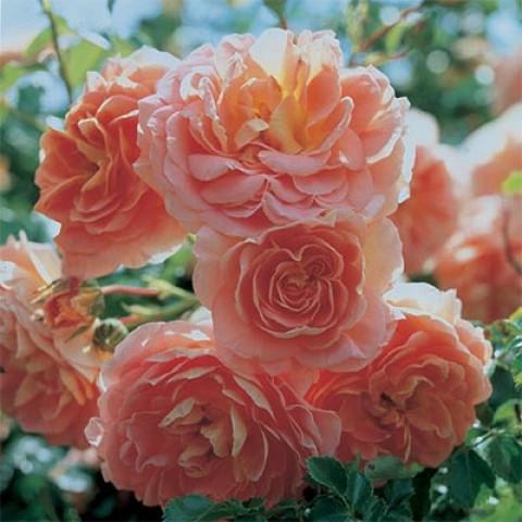 Роза Concerto фото