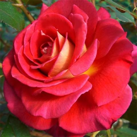 Роза Copacabana фото