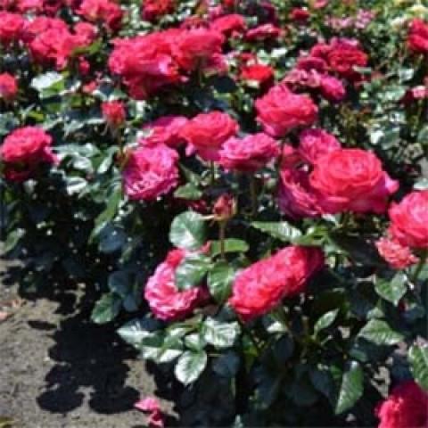 Роза Corfu фото