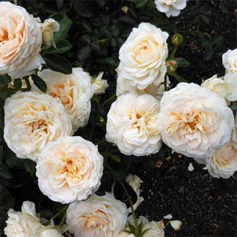 Роза Cream Abundance фото