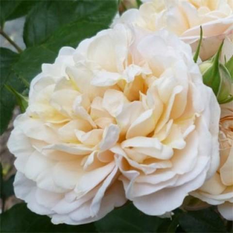 Роза Cream Marie Curie фото