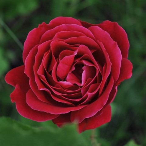 Роза Dame de Coeur фото