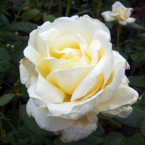 Роза Diamond Days фото