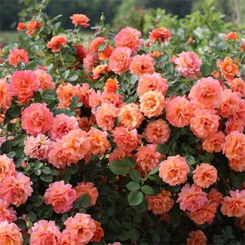 Роза Easy Does It фото