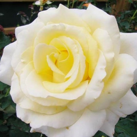 Роза Elina фото