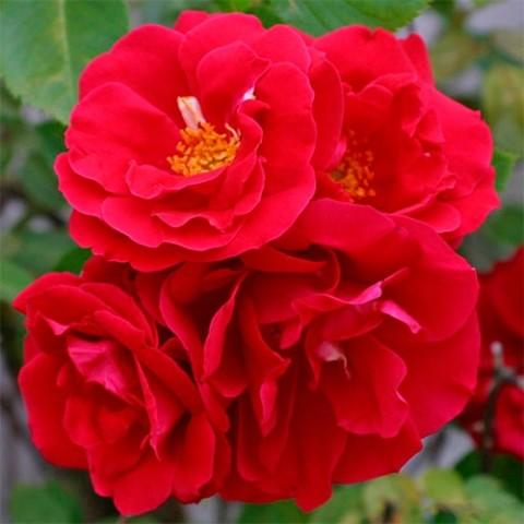 Роза Flamentanz фото