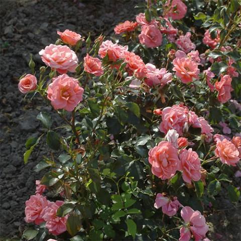 Роза Fredensborg фото